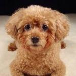 Poodle's foto